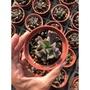 暗黑力量 2或3寸盆 多肉植物