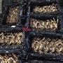 🇯🇵日本行家 活體帝王蟹 鱈場蟹  3公斤~4.5公斤 依照你要大小或重量 挑選秤重( 每公斤計價 )過年 年菜