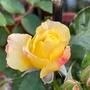 #玫瑰花 #樹玫瑰 #樹玫瑰花 名:土黃星