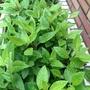 白鳳菜 尼基羅草 -三寸盆,三盆50,每盆三枝
