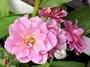 8吋大盆 [淺紫色月季 月季花 玫瑰花盆栽] 活體花卉植物 ~光線需充足. 可全年開花