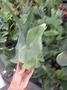 女王鹿角蕨 3.5吋盆