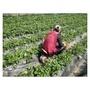農車 農用椅 草莓車 (大輪款) 工作車 農務車 採果椅 採收車 園藝車