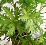5吋盆[ 防蚊樹盆栽 葉片戳揉會有強烈氣味.可以直接抹於皮膚防蚊 不能每天一直澆水] 活體香草植物~半日照佳~