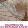 澳洲銀鹿 奧銀 數量稀少 夯鹿角蕨