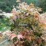 日本福岡   樹葡萄    矮種    五年果樹   ( 不含盆 )