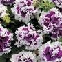↖重瓣矮牽牛   紫舞   粉衣(種子) 特價↗