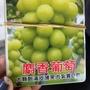 日本麝香葡萄仟插苗。要種3-4年生