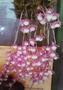 蘭花---紅天宮石斛(有香味)