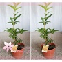 *芙菈朵森林* 園藝館 黃金桂花 6吋盆 季節花卉 樹苗 花苗 水果苗