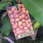 一禪種苗園-絕世好味前(錢)景看好<阿恰洽山竹(黃金山竹)>水果苗-5吋盆