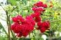 荷花薔薇~樹玫瑰砧木~一種極珍貴的野薔薇~六吋盆植栽~悠遊山城(創始店)