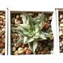 多肉植物 百合科 十二卷屬 Haworthia 氣泡壽錦 極上絲縞斑超美側芽