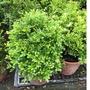 一禪種苗園-香氣濃郁而獨特<細葉七里香(月橘)>綠籬植物-6吋盆