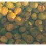 珍珠柑/砂糖橘