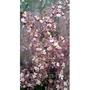 花花世界_季節蘭花--香水文心蘭(紅),花多易開--花期很長/4吋盆苗/高20cm/Tm