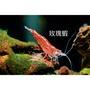 【豐盛】活餌 -玫瑰蝦、極火蝦、汰香吉士、汰藍絲絨、汰黃米蝦、紅琉璃