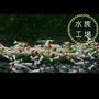 水族工場-優質純係厚殼紅白水晶蝦/觀賞蝦/水晶蝦/活餌/圖像/隨機/優惠中