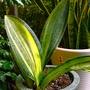 虎尾蘭/室內植物/居家植物(寶扇錦)