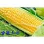 紅香玉米 彩色玉米 新上市 金蜜玉米種子 水果玉米種子 糯玉米種子 爆米花玉米種子 (農產種子郵購站)