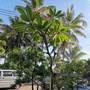 粉紅黃雞蛋花,粗幹開花樹,高約350公分,樹型美門口迎賓盆栽。