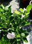 [大金桔盆栽 四季金桔樹盆栽 金桔檸檬原料] 6-8吋多年生活體果樹盆栽 室外植物~ 天氣冷果實多. 天氣熱果實會少很多