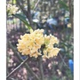 日本香水桂花-香噴噴