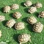 蘇卡達象龜 赫曼陸龜 肯亞豹龜 櫻桃紅腿象龜 四爪陸龜 陸龜飼料  陸龜 象龜