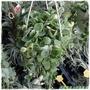【綠美農場】小品盆栽─斑葉串錢藤