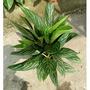觀葉植物.花苗 ~ 銀王粗肋草 ~ 8吋盆/高40-50公分/耐陰性強<花森林植物的家>