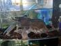藍體/黑體 龍紋螯蝦 孤雌繁殖  飼料蝦 釣餌 觀賞飼料 螯蝦 蝦類