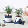 【Barbapapa泡泡先生】 青花瓷盆景栽培 / 日本黑松 (兩款)