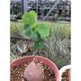 Stephania erecta 圓葉山烏龜/番薯/地瓜/塊根