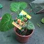 黃金樹蕃茄苗
