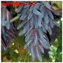 葡萄苗果樹苗藍寶石葡萄樹苗地栽爬藤嫁接南北方種植當年結果