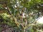 榴槤蜜嫁接苗靠接苗大中小苗各種品種 白玉榴槤蜜 0972-818-052