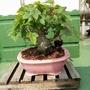 小品盆栽 迷你唐楓 高約10公分 幹粗3公分