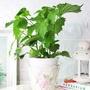『森林有塊田』綠紫蘇(日本紫蘇)盆栽。天然防治。附肥料。白色盆。香草植物/香料植物/防蚊植物/防蟲植物/香草盆栽