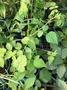 一禪種苗園-果實味道酸甜<覆盆子(覆盆莓)>香草植物-5吋盆