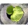 [蕨的想買就買] P.ridleyi thin frond 馬來西亞細葉亞洲猴腦