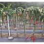 【中和全泰冷氣】水泥柱果柱火龍果瓜棚  6尺180公分