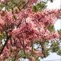 花旗木樹苗(10棵=$350)  高25公分,一箱可置30棵。