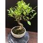 虎斑榕 榕樹盆栽