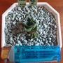 姬藍光 小精靈 母株含2側芽一起 450元龍舌蘭