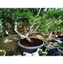 五葉松老樹盆栽 二十五年盆栽 特價出清