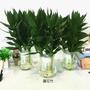 英宏-蓮花竹-富貴竹-水耕植物🌳