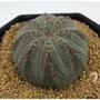 布紋球 | 多肉植物