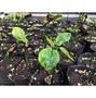 【阿金的便秘花園】南美油藤 印加花生 爪印加果 Plukenetia volubilis(優惠中,詳建商品內頁)