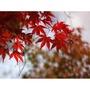 紅舖子 楓樹5吋盆栽可以自己綁鋁線做造型