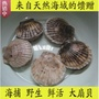 野生鮮活大扇貝
